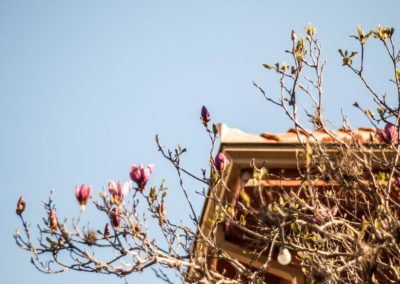 Magnólia do pátio dando as primeiras flores.